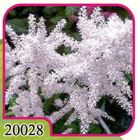 Astilbe Washington