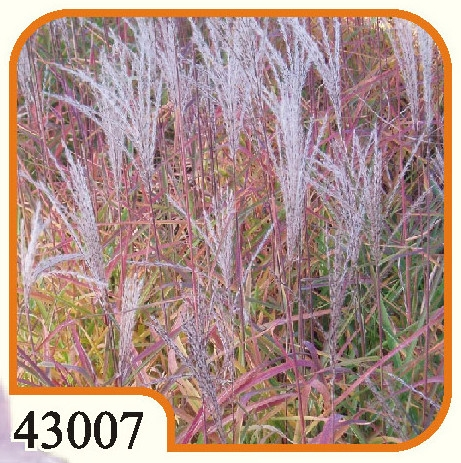 Miscanthus Purpurescens