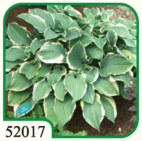 Hosta Regal Splendor