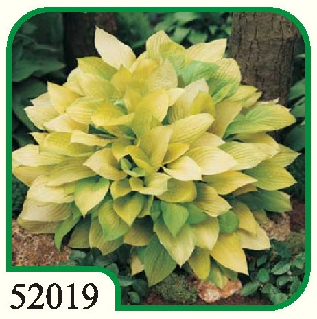 Hosta Richland Gold