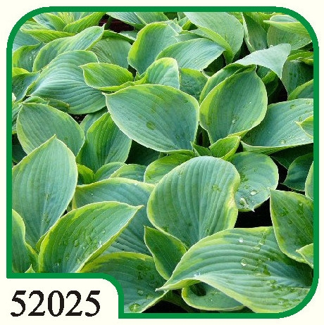 Hosta Sieblodiana Frances Williams