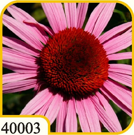 Echinacea Roby Star